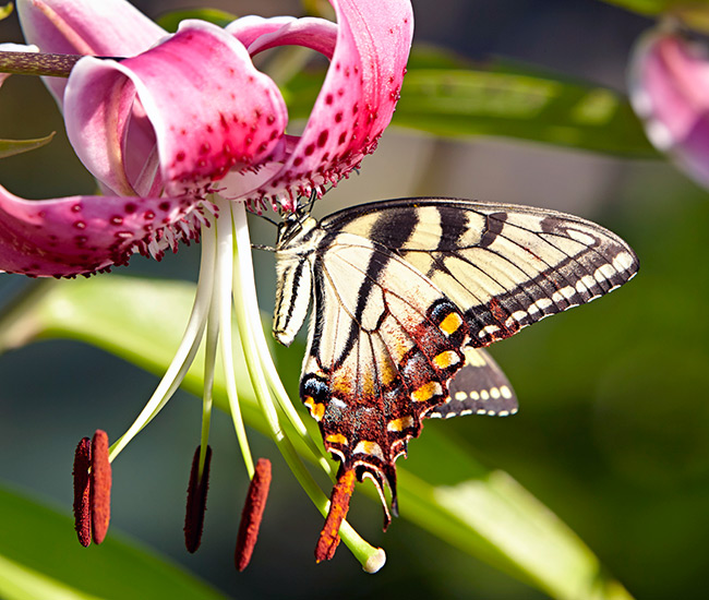 types-of-pollinators-eastern-tiger-swallowtail-butterfly-copyright-Garden-Gate: Butterflies, like this Eastern tiger swallowtail, love wide, bright flowers, such as this hot pink Oriental lily.