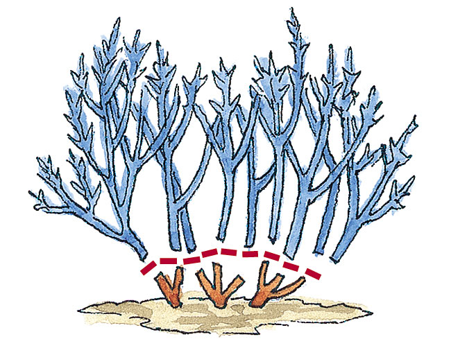 Pruning illustration to show how to get bigger flower clusters
