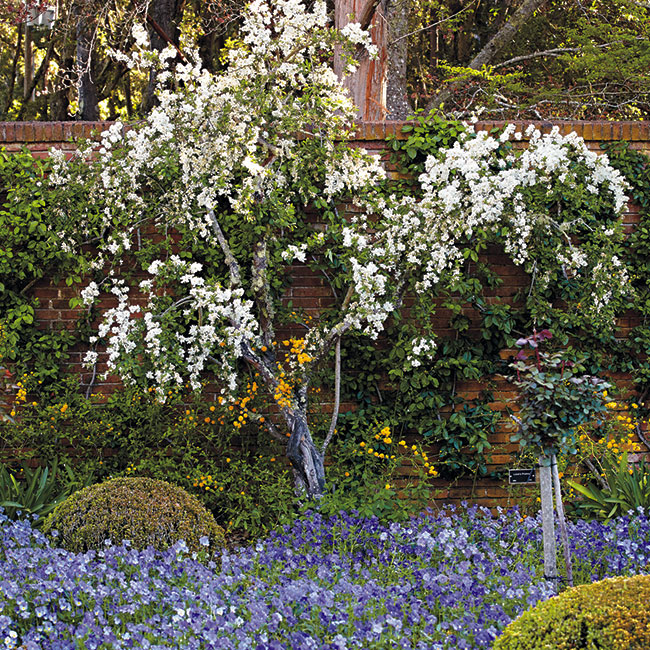 6-ways-to-create-a-beautiful-spring-garden-add-shrubs: The white flowers of this pearlbush helps draw the eye to the lovely mass of blue pansies.