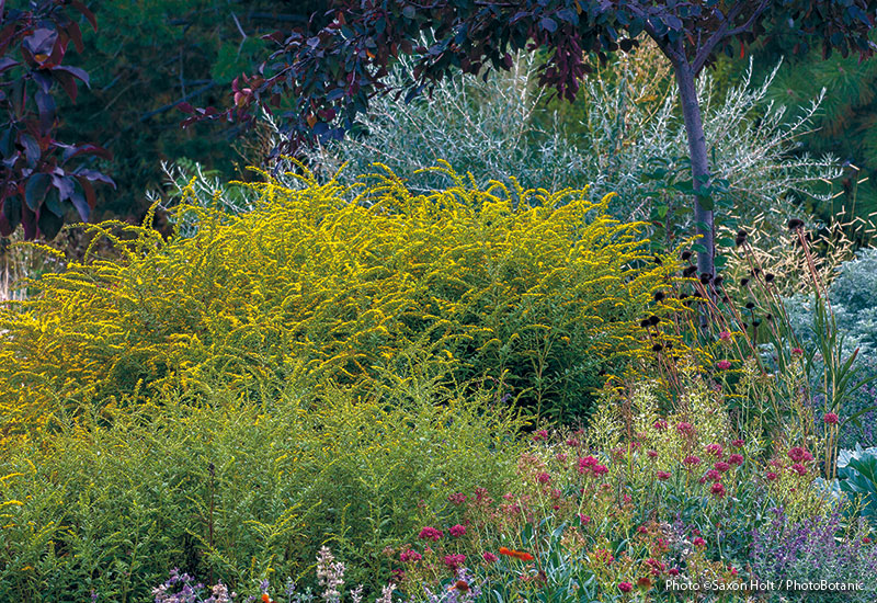Designing-with-goldenrod-in-your-garden-lead: Popular 'Fireworks' is a slow spreader.  When you see its arching sprays of glowing yellow flowers in late summer, you'll know exactly how it got its name. This one grows best in full sun to part shade and tolerates moist soil better than most goldenrods.