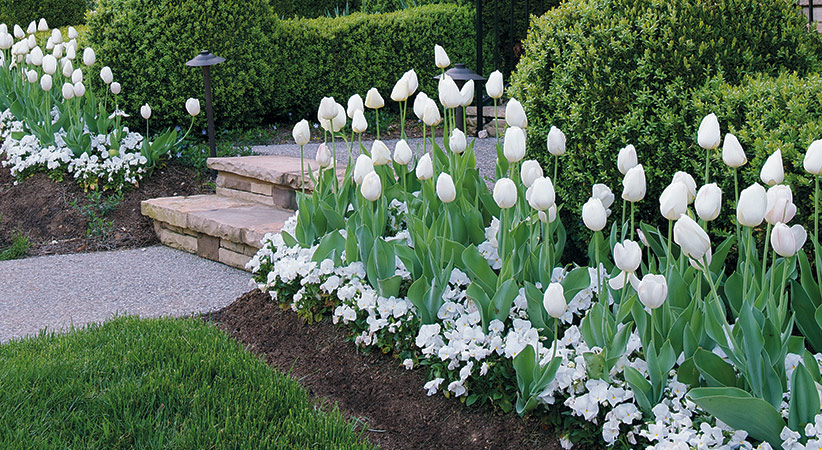 Mass planting of white tulips.