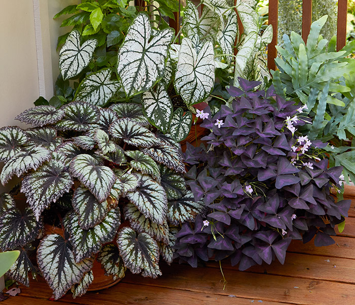 Rex begonia and oxalis containers: Rex begonias like you see on the left are beautiful and striking foliage stars in the garden.