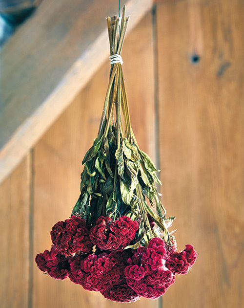 Drying celosia flowers: Position the flowers at different levels in the bunch so air circulates and the blooms aren't damaged.