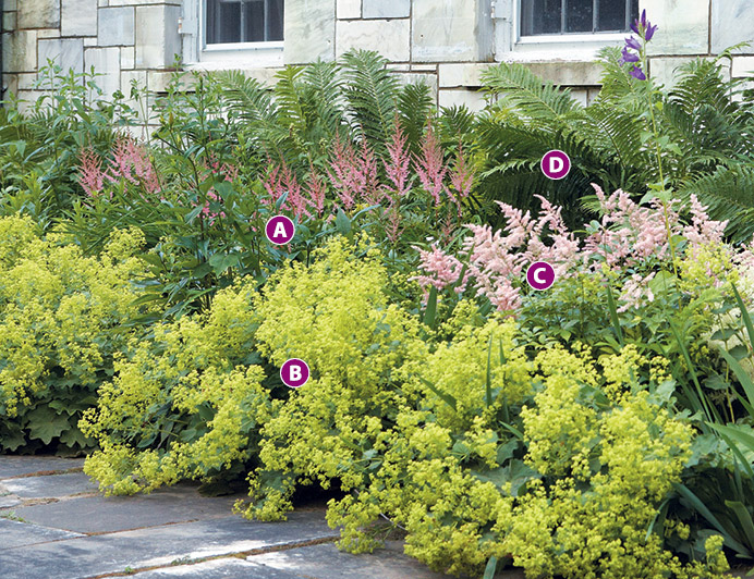 Colorful foundation planting with Astilbe and Lady's mantle: Create a colorful foundation planting with Astilbe and lady's mantle.
