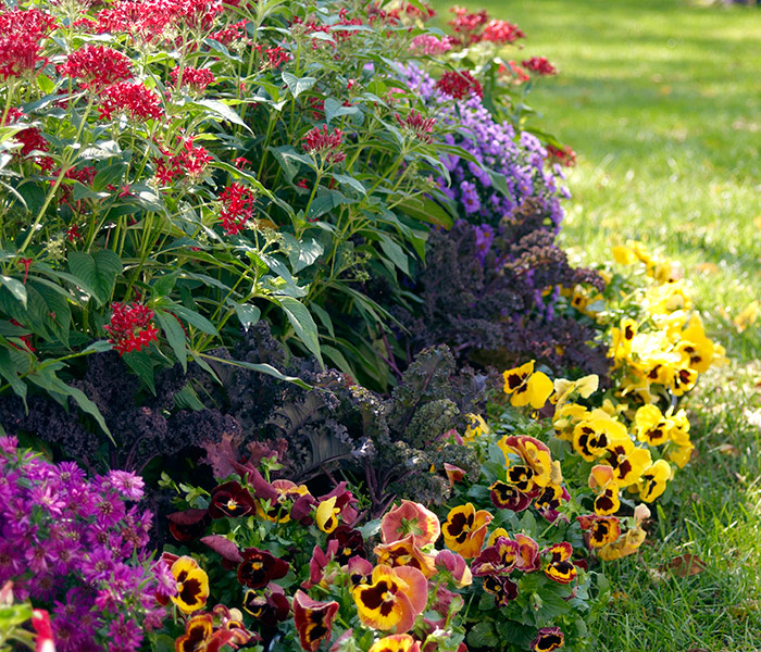 Pansy, kale, starflower, aster fall plant combination: Asters, starflowers, pansies & flowering kale make for a beautiful fall display.