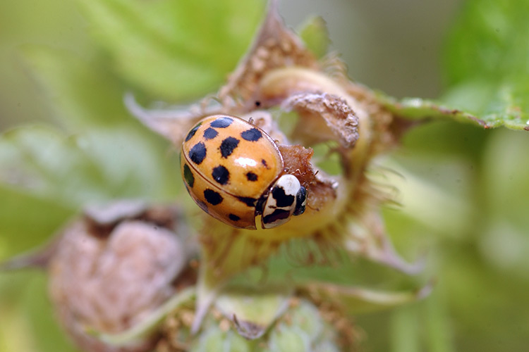 beneficial-garden-insects-lady-beetle