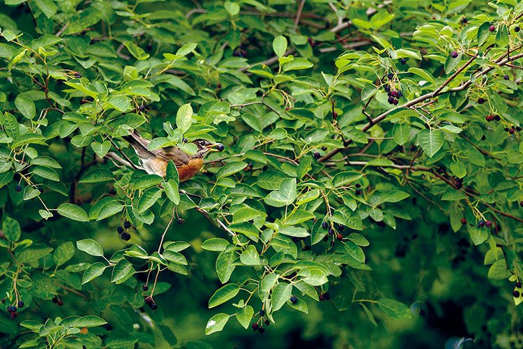 welcome-birds-to-your-garden-with-berries: Birds often look for colorful berries to eat — red and blue (like this serviceberry's) are their favorites.