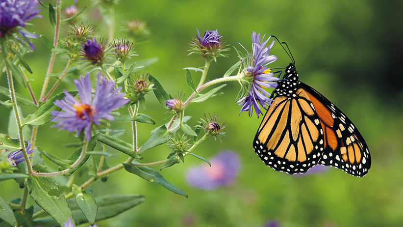 Monarch butterfly on a purple New England aster: New England asters have loads of small single flowers that butterflies love.