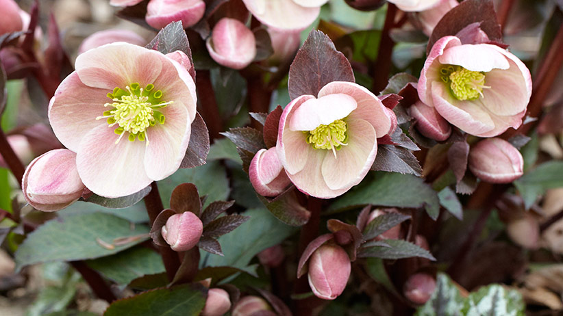 Pink hellebore flower close-up: This soft pink hellebore adds elegance to any garden.