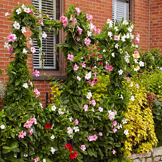 mandevilla brick wall: Hide a brick wall with vining mandevilla.