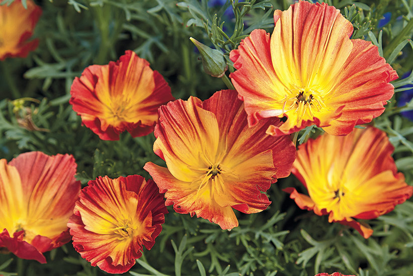 5 out of the ordinary spring flowers garden gate magazine california poppy eschscholzia californica mightylinksfo