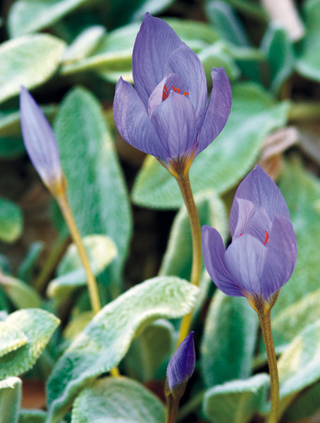 dw-right-bulb-right-place-surprisingcolor: Bulbs like this large autumn crocus add color to your fall garden.