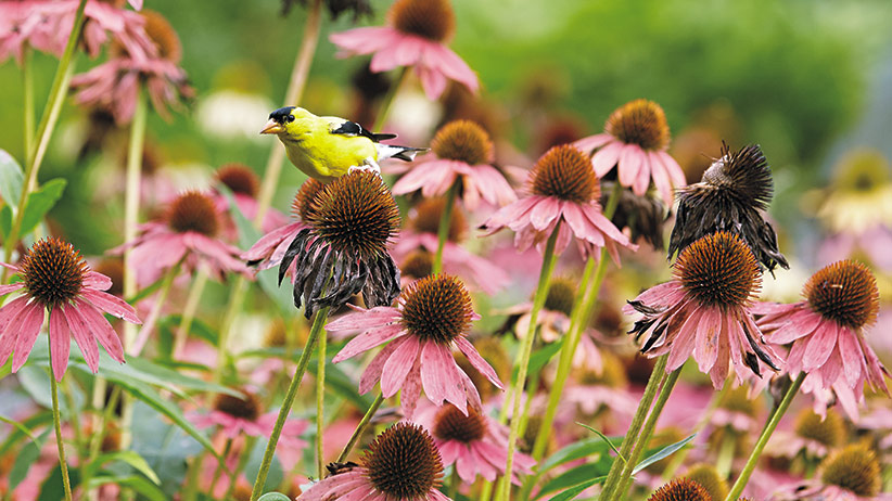 gardening-for-birds-pv: In many parts of North America, American goldfinches remain year-round, so leaving seedheads on the plant will keep them coming back to your yard.