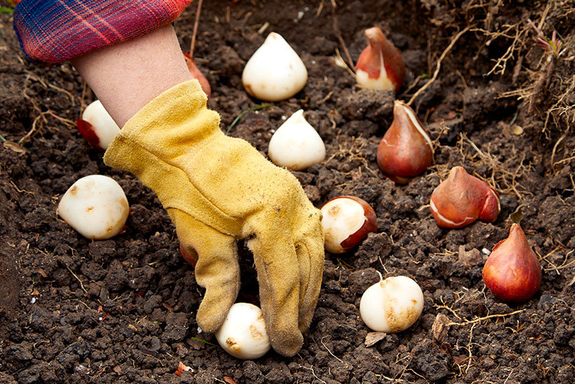 fall-checklist-plant-bulbs: Plant spring-blooming bulbs like tulips in midfall.