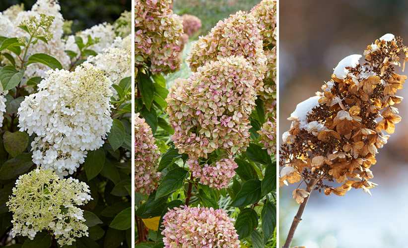 panicle-hydrangeas-for-your-garden-Multiseason-interest: Panicle hydrangeas look good throughout the seasons, even winter!