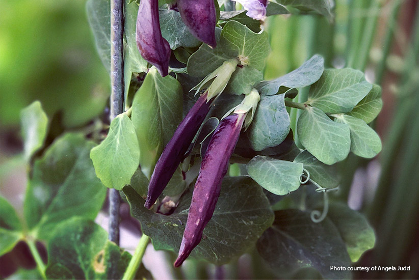 Purple garden peas: Garden peas like this purple 'Desiree Dwarf Blauwschokkers' are easy to grow.