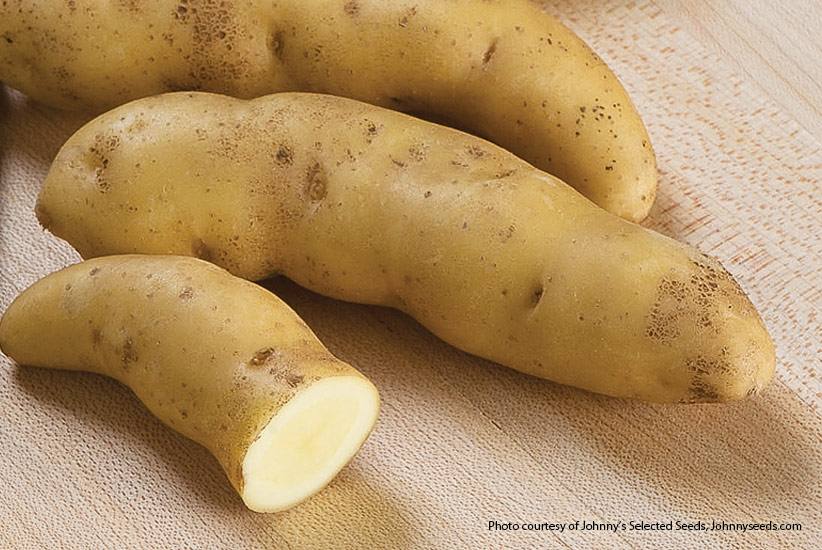 Fingerling potato: 'Russian Banana' is a fingerling potato with yellow skin.