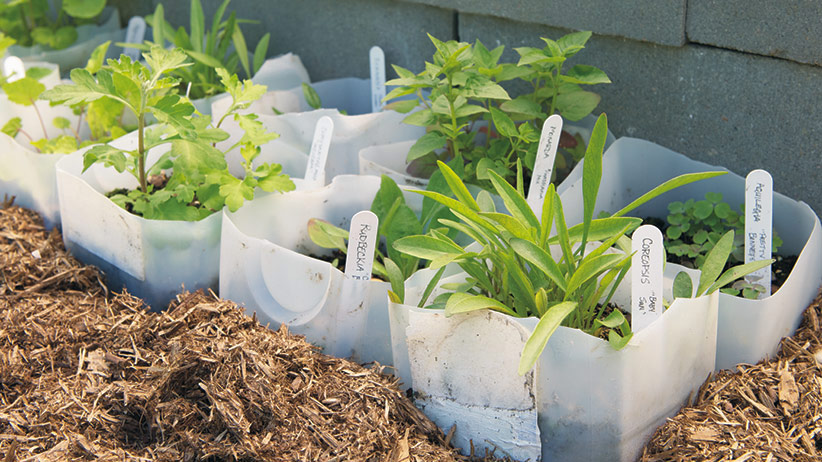 How Would You Like To Save Money On Plants Start Perennials From Seed With This Easy Method Plant Your Seeds In A Milk Jug Set It Outside And Let Mother