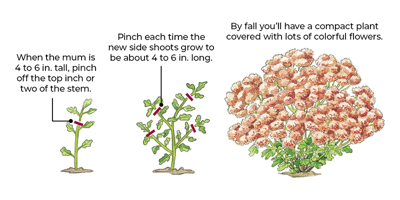 How to pinch mums for a more mounded habit illustration: Pinching growing tips multiple times throughout the season will produce a more mounded habit for your mums.