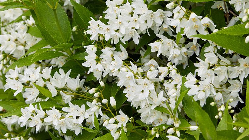 Prune Spring Flowering Shrubs for More Flowers