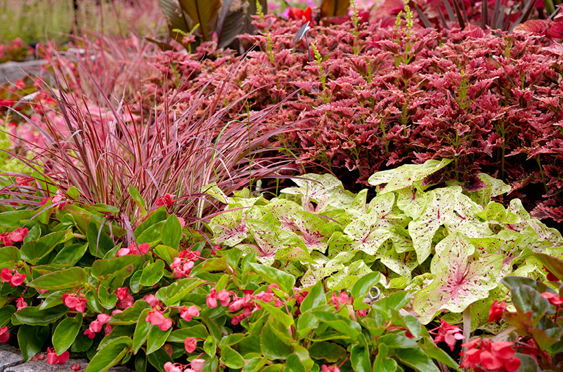 Grow A Coleus Hedge Garden Gate