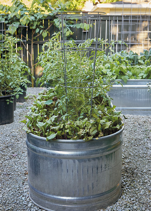 Galvanized raised garden bed with tomato plants