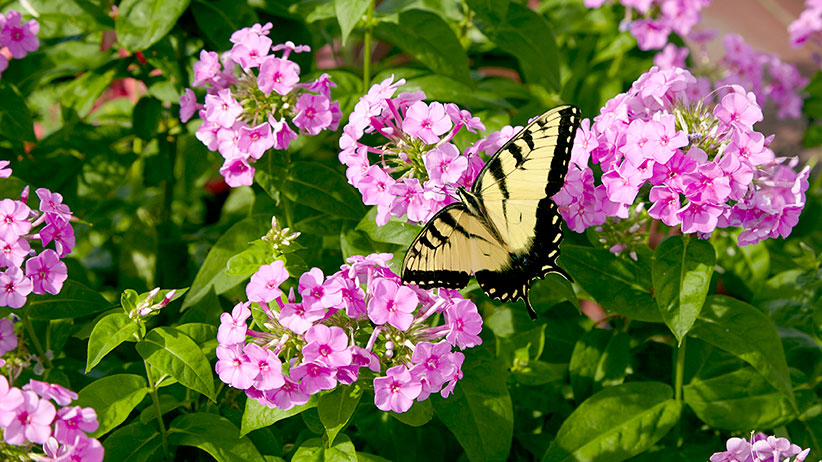 butterfly-plants-web-extra-70-lead: A tiger swallowtail butterfly rests on garden phlox