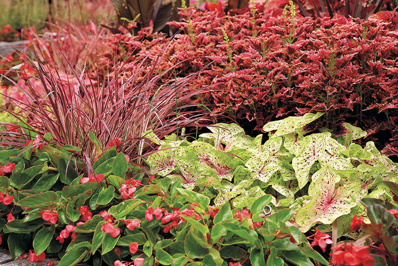 Attractive coleus combination:SuperSun 'Plum Parfait' coleus plants, 'Fireworks' purple fountain grass (Pennisetum hybrid) and Dragon Wing™ Red begonia (Begonia hybrid) make a pretty combination in a full sun garden.