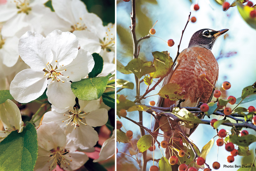 6-plants-birds-love-Flowering-Crabapple: Flowering crabapple trees have fragrant blooms in spring and berries in fall that attract birds like the American Robin.