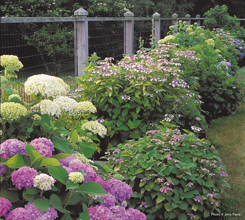 How To Care For Leaf Hydrangeas Garden Gate
