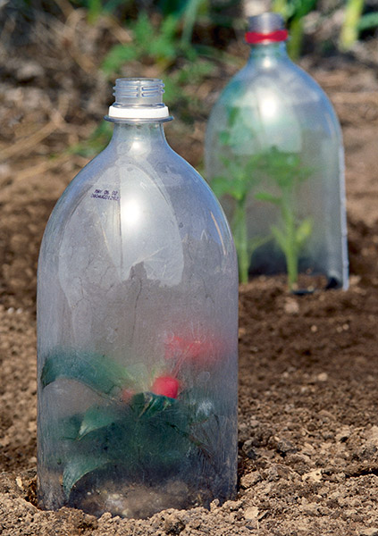 ht-p-make-a-soda-shorter: Upcycled soda bottle cloches are a cost-effective way to protect new plants in your garden.