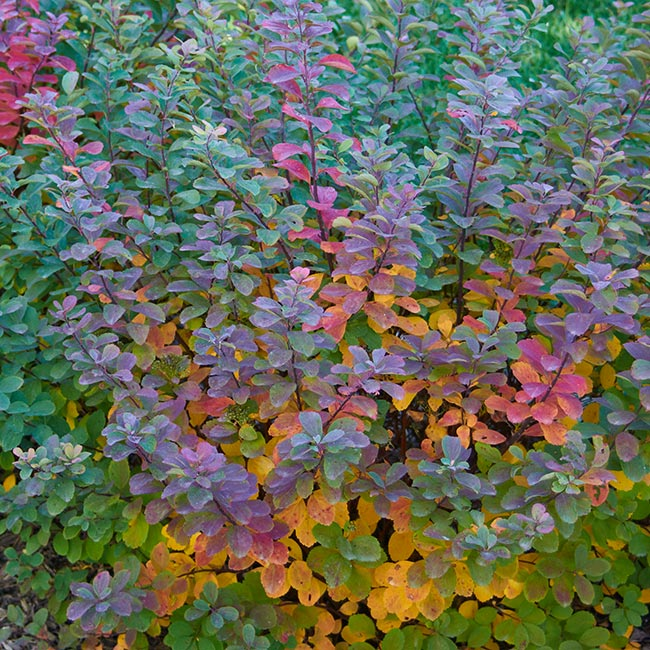 guide-to-spirea-tor-foliage:'Tor' birchleaf spirea's fall foliage is a technicolor transition.