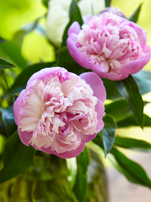 fp-pg-hold-over-peonies-Vase